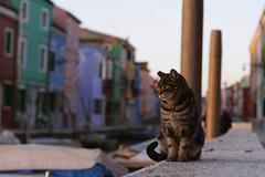 Burano's Cat (Ekaterina Ignatova) Tags: venice houses italy house colors cat river 50mm colorful colours burano