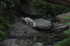 Bajo and his reflection (DidaK) Tags: stream bigsur mutts redwoods ferns centralcalifornia terripoo terrapoo poodlemutt