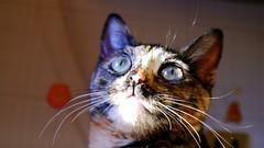 mini cat (margheritamagliano) Tags: colour beautiful cat eyes lot sguardo oliva ghiaccio baffi