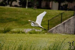 Two in the Bush (brev99) Tags: park white bird field wings egret snowyegret bif birdinflight nikviveza topazdenoise topazdetail cacorrection dxooptics8