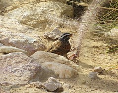 Striolated Bunting (tom_2014) Tags: wild mountain bird nature ecology birds gulf wildlife uae middleeast arabia species alain unitedarabemirates biodiversity bunting jebelhafeet emberizidae emberiza passerine gulfstates emberizastriolata striolata striolatedbunting