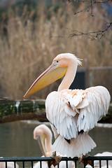 Pelican (Cloudtail the Snow Leopard) Tags: bird animal zoo rosa pelican basel pelikan tier vogel pelecanus onocrotalus