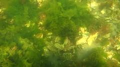 Defensive crab - Grevelingen, the Netherlands (karen kloth) Tags: crab defensive grevelingen