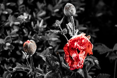 The Old and the New Flowers (Philip Gillespie) Tags: flowers red summer plants white black colour art nature crimson leaves canon garden mono scotland spring natural bloom bud blooms selective