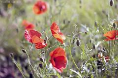 L1008695 (LaBonVampire) Tags: leica flowers nature zeiss carlzeiss zm leicam8 teletessart485 teletessar85