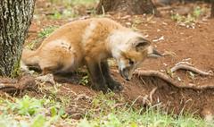IMG_4980 Red Fox Kits at Play (Wallace River) Tags: novascotia kits playtime foxkits redfoxkits