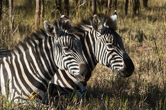 Portrait of 2 Burchell's zebras (Equus quagga burchellii) resting in dried grass (Dave Montreuil) Tags: africa 2 wild two portrait nature grass animals neck mammal head african stripes wildlife young malawi southeast mane zebras equus burchells quagga burchellii