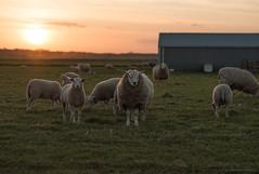 (CarolienCadoni..) Tags: light sun sunlight netherlands sheep sundown may nederland drenthe exloo sigma85mmf14 sonyslta99