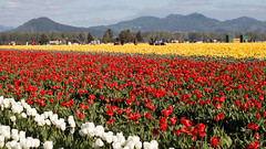 Tulip Fest (9 of 26) (evan.chakroff) Tags: flowers festival washington spring unitedstates tulips tulip april mountvernon tulipfestival mtvernon roozengaarde 2016