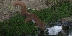 DSC08494rawcon_p (ger hadem) Tags: veluwe zwijn eekhoorn gerhadem