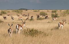 Springbok at Etosha, Namibia (Randy K2) Tags: park national namibia etosha springbok