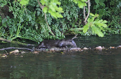 European otter (Lutra lutra) with lamprey (10) (Geckoo76) Tags: river otter lamprey europeanotter