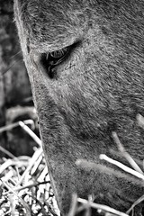 Donkey (Mario Ottaviani Photography) Tags: blackandwhite bw white black eye nature monochrome look animal monocromo donkey bn sguardo bianco nero occhio animale biancoenero asino sonyalpha ciucco a450