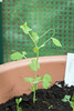Keimling Erbse (blumenbiene) Tags: plant garden pflanze peas pea garten seedling erbse pisum sativum keimlinge gartenerbse speiseerbse