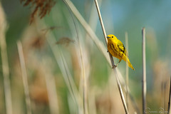 DSC_0024 (romain-dreux-photo) Tags: canada nature birds quebec pastel wildlife americanyellowwarbler setophagapetechia