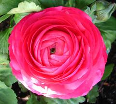 pink ranunculus (lisafree54) Tags: pink plant flower nature free ranunculus cco freephotos