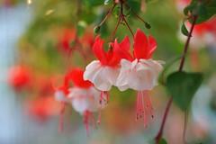 -Fuchsia hybrida 'Stolze von Berlinl' -s (nobuflickr) Tags: flower nature japan botanical kyoto   the garden  awesomeblossoms  20160422dsc07831  fuchsiahybridastolzevonberlinl