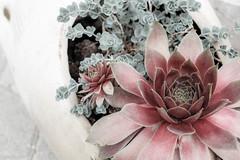 genus sempervivum (wigerl) Tags: light flower nature 35mm austria licht photo sterreich europa europe fuji foto natur krnten carinthia tiffen 2016 xseries feldkirchen xt1 fuji35mm14 fujixt1