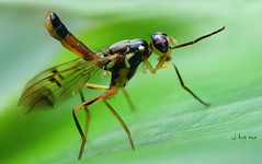 Fruit Fly eyes /  (bug eye :) Thailand) Tags: nature natural wildlife macro closeup insect bug bugeye fly flight fruitfly eyes amazing tropical oriental chiangmai doisuthep thailand canon