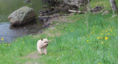 Jeter - 5/24/16 (myvreni) Tags: pets dogs nature animals spring vermont cairnterriers