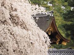 Imperial bokeh (M_Strasser) Tags: japan kyoto olympus sakura kyotogyoen kyotoimperialpalacepark olympusomdem1