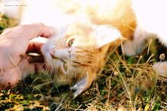 La ternura de tus ojos claros (Conserva tus Colores) Tags: chile naturaleza nature animals cat canon amor pasto gato verano animales mirada lovenature gatito nanai ternura catlovers conservatuscolores