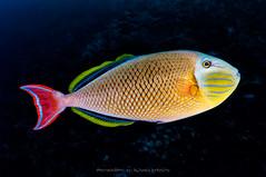 Triggerfish (Alfonso Exposito) Tags: fish color mxico underwater triggerfish revillagigedo rocapartida