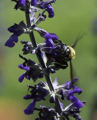Bee_SAF7718-1 (sara97) Tags: nature insect outdoors bee missouri endangered saintlouis citypark towergrovepark urbanpark pollinator photobysaraannefinke copyright2016saraannefinke