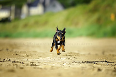 Flynn the Min Pin 2 (jmacrock) Tags: dog puppy miniature pin min pinscher