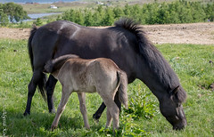 Mother and Son-5839 (Dante's Paparazzi) Tags: horses handheld apertureacademy iceland2016