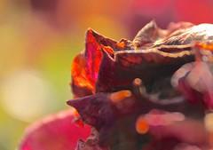Morning Rose (2bmolar) Tags: rose am