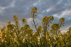 Sunset (Infomastern) Tags: sunset sky cloud field landscape countryside raps canola rapeseed solnedgng landskap sdersltt flt landsbygd