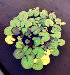 Urban Pads (Earthlandia) Tags: lilly pad pond city urban murky water plants green