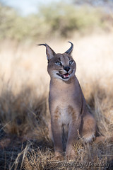 009-Caracal_002 copy (Beverly Houwing) Tags: africa face cat feline namibia carcal