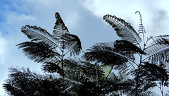 The Wind (Khaled M. K. HEGAZY) Tags: nikon coolpix p520 maadi sporting club cairo egypt nature outdoor closeup tree leaf leaves foliage fern sky cloud blue white black silhouette