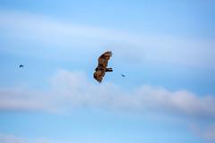 _5D36400 (dendrimermeister) Tags: vulture bird avian animal fauna flight soar