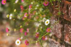 Daisy Daisy (paulapics2) Tags: daisies daisy flower fleur floral flora blumen nature garden pretty wall hydehallgardens canoneos5d canonef70300mm depthoffield bokeh