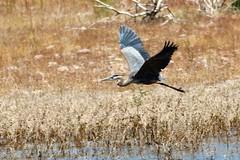 Great Blue Heron_5753 (3) (cpalmerpics) Tags: birds waterbirds largebirds greatblue herons arizona