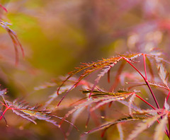 Leaf Bokeh..... (zoomclic) Tags: canon closeup colorful dof dreamy bokeh red yellow nature tree leaves summer japanesemaple zoomclicphotography