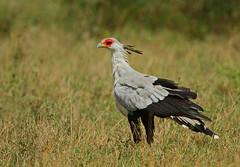 Shimmering Secretary! (Rainbirder) Tags: kenya masaimara secretarybird sagittariusserpentarius rainbirder
