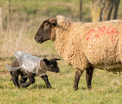 Lamb in raincoat (tom ballard2009) Tags: lamb lambing sheep raincoat field coat plastic dorset wimborne smileonsaturday