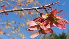 Maple fruit, sooc (Martin LaBar) Tags: red fruit spring maple wings southcarolina seed acer samara frühling pickenscounty sapindaceae
