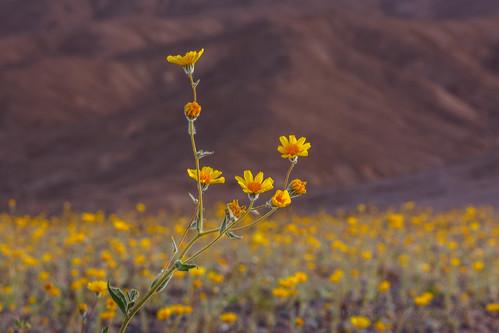 Desert Gold, Deraea canescens