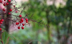 Rainy Day (Bella Lisa) Tags: garden bush berries droplet