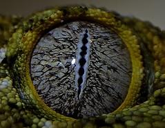 New Caledonia Giant Gecko's eye (Rhacodactylus leachianus) (_DSC0188 (ikerekes81) Tags: macro eye zoo washingtondc dc reptile nationalzoo gecko dczoo smithsoniannationalzoologicalpark washingtondczoo newcaledoniagiantgecko geckoseye rhacodactylusleachianus