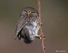 What are you thinking? (Eric Gofreed) Tags: canada britishcolumbia ngc owl northernpygmyowl