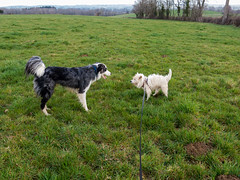 Border collie and Parson Russelterier (Elise Swart) Tags: dog chien pet pets france dogs animal animals landscape landscapes country meadow meadows hond bleu terrier frankrijk bordercollie wei paysage animaux fr campagne dieren huisdier dier weiland bess chie