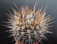 Neoporteria taltalensis (Orkel2012) Tags: neoporteria cactus succulent nikon 40 mm
