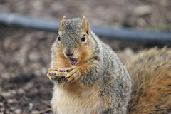 288/365/2479 (March 26, 2015) - Squirrels at the Ross Bur Oak Tree - University of Michigan (March 26, 2015) (cseeman) Tags: tree animal campus spring oak squirrels eating michigan annarbor peanut universityofmichigan buroak project365 rossschoolofbusiness buroakmove yearsevenproject365coreys michigantreemove 2015project365coreys umsquirrels03262015 umburoakmove03262015 umburoaksquirrel03262015 p365cs032015 marchumsquirrel