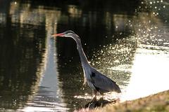 Great Blue Heron at Sunset (pandaphotos1485) Tags: bird heron water birds canon pond greatblueheron 400mm greatblue 400l canon400l 40056 canon7d